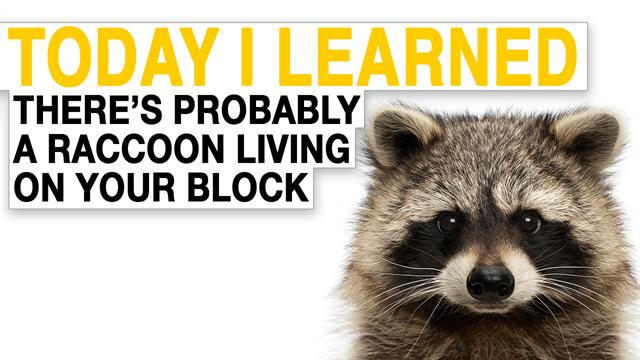 Til There S Probably A Raccoon Living On Your Block