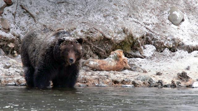 how to avoid brown bear attacks
