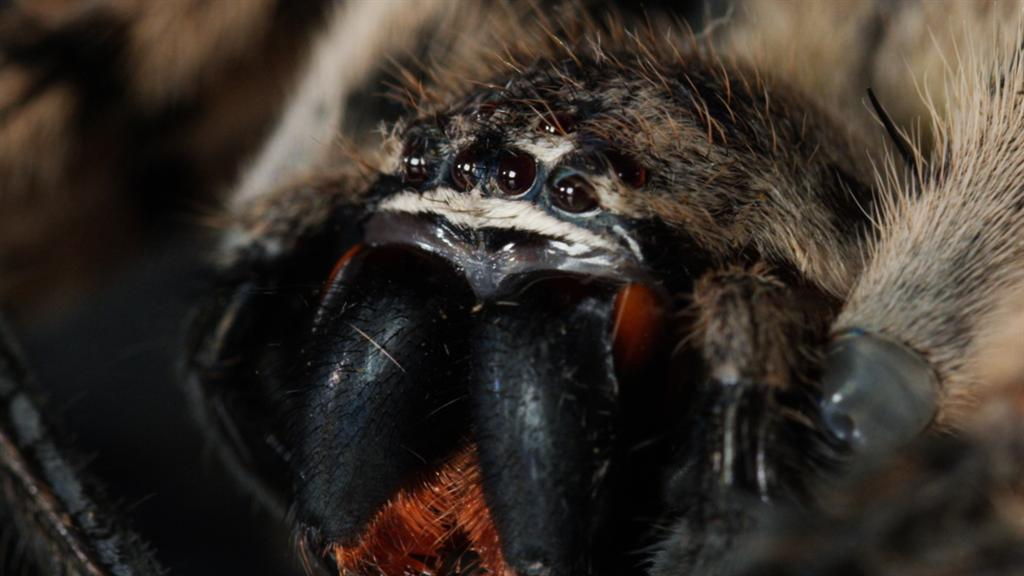 Gaze Into The Eyes Of A Wolf Spider