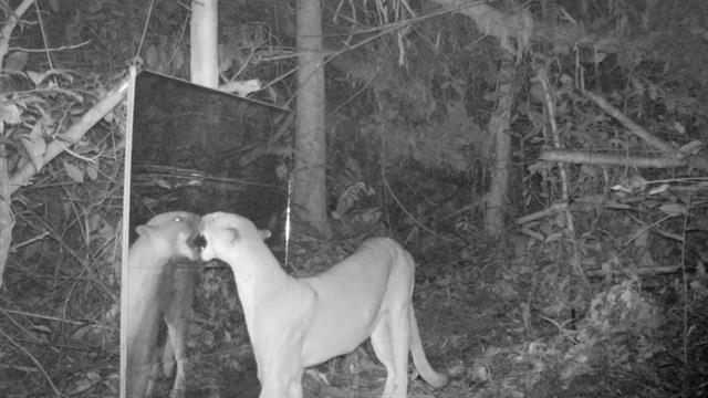 Eastern Cougars Declared Extinct—But That Might Not be Bad