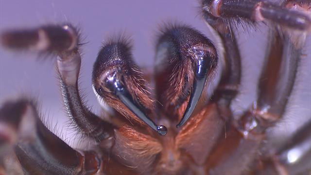 Sac Full of Deadly Spiders Opened and Milked for Venom
