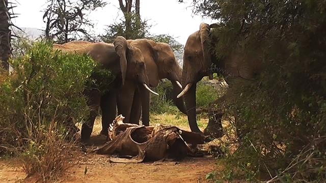 Rare Video Shows Elephants Mourning Death