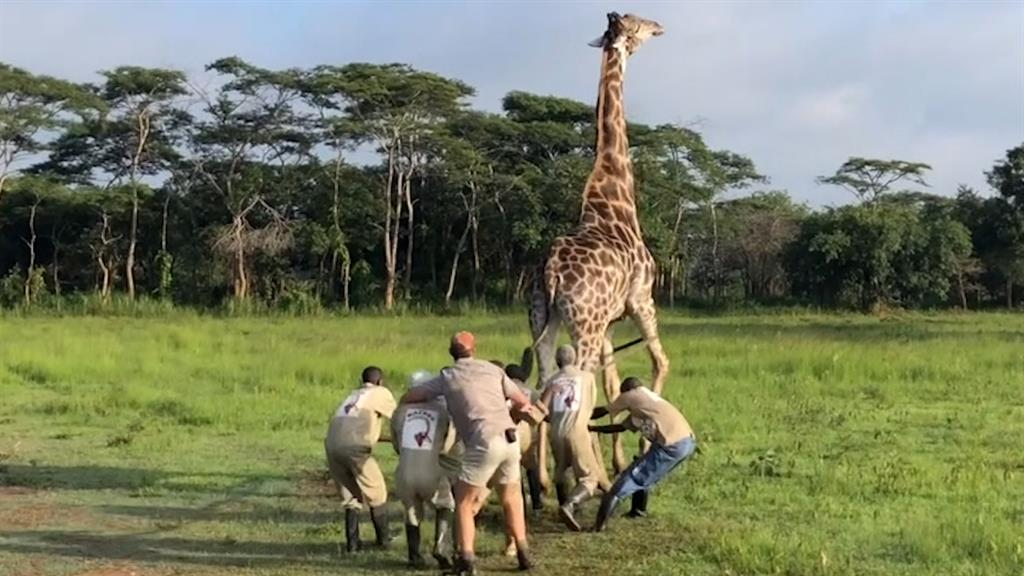 Watch a Giraffe Rescued in the Democratic Republic of the Congo