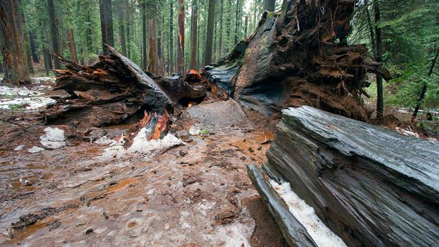 Why californias ancient sequoia tunnel tree toppled mozeypictures Image collections