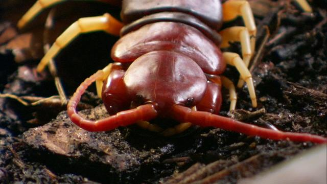Follow A Giant Centipede On Its Hunt For A Meal