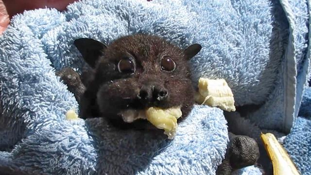 rescued baby bat stuffs her cheeks with banana - Picture Of A Bat