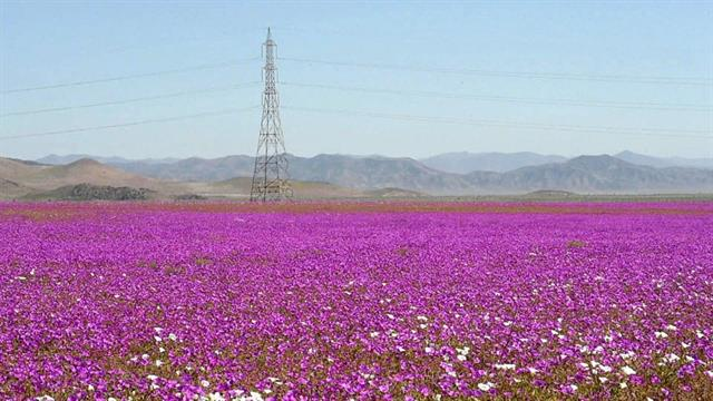 See One of Earth's Driest Places Experience Rare Flower Boom