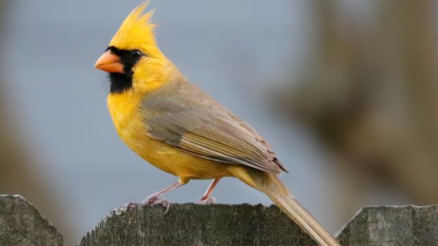 Watch Rare Yellow Cardinal Spotted In Alabama
