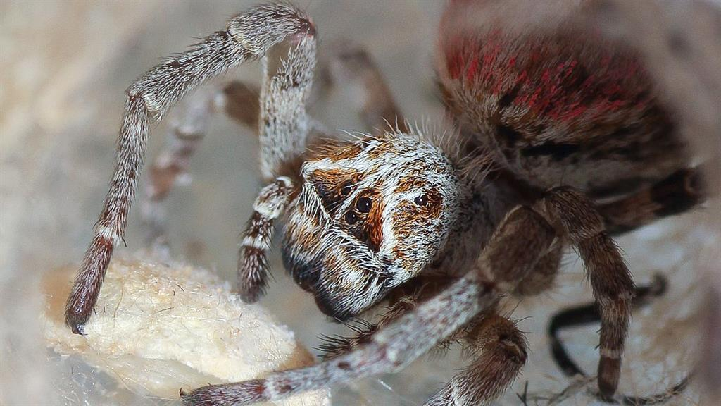 What Do Wolf Spiders Eat >> Watch Baby Spiders Eat Their Mothers Alive