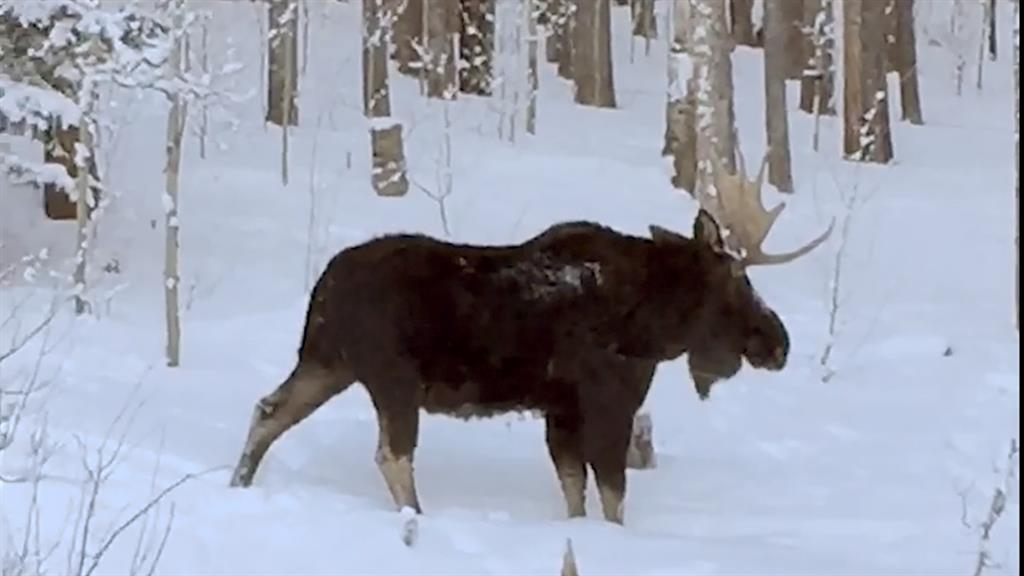Watch Rare Video of a Moose Shedding an Antler