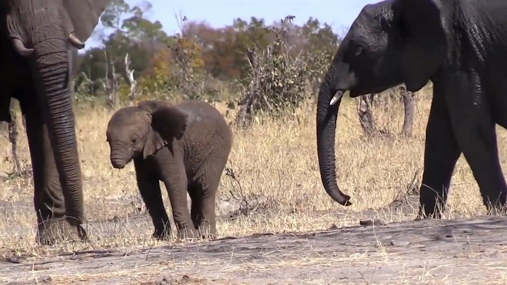 This Baby Elephant Lost Its Trunk Can It Survive
