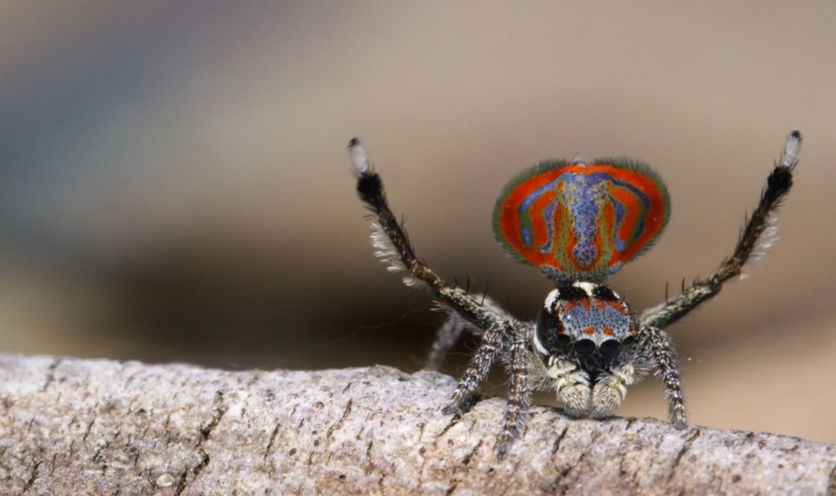 Behold Sparklemuffin and Skeletorus, New Peacock Spiders