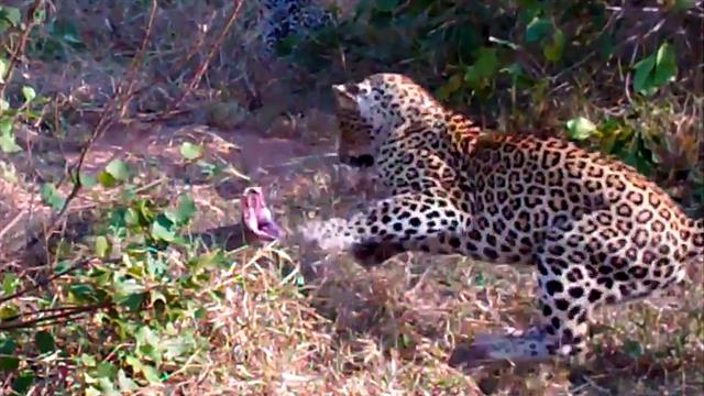 Watch First-Ever Video of Python Swallowing Hyena