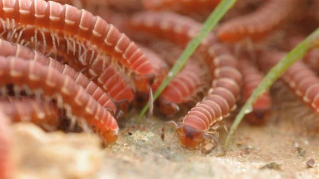 Watch Swarms of Millipedes Join Ranks to Survive