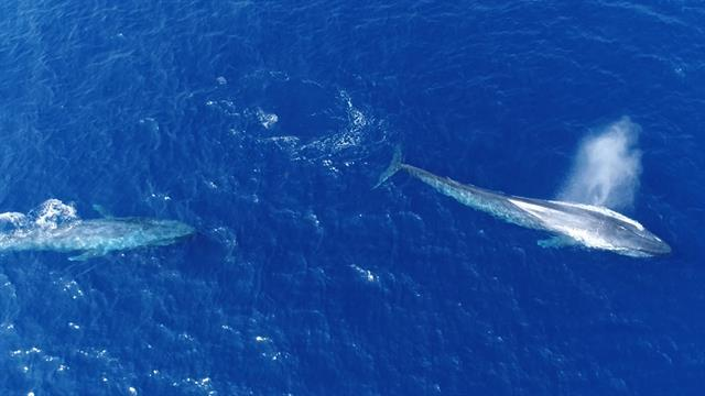 'Flirting' Blue Whales Caught on Camera