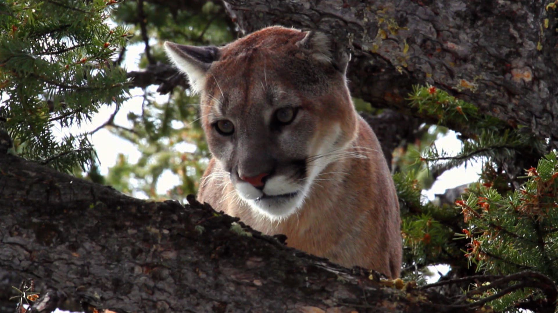 bat cave cougars personals The land is located roughly 30 miles northwest of san antonio, adjacent to bci's  bracken bat cave bracken is the world's largest bat colony, with millions of.