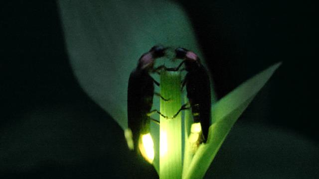 How these mysterious fireflies synchronize their dazzling light shows thumbnail