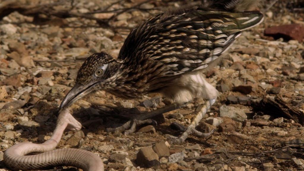 Roadrunner Vs Rattlesnake
