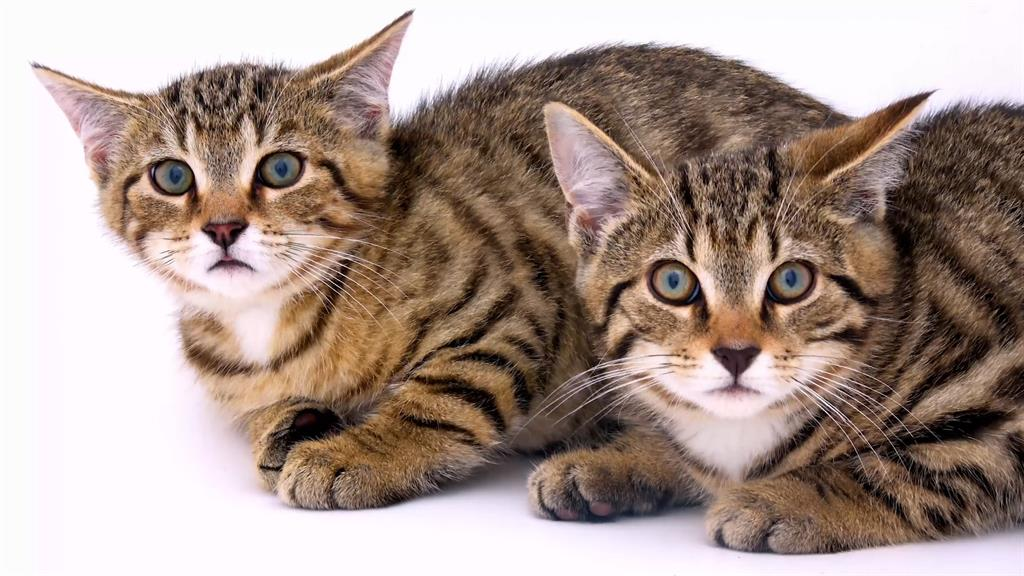 Scottish Wildcats Are In Danger Of Extinction Here S How To Save Them