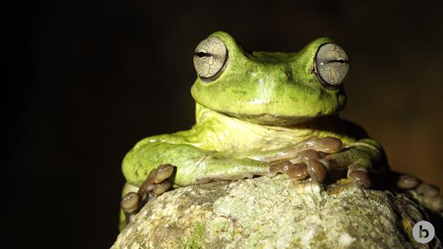 by eavesdropping underwater, scientists hope to capture this endangered  frog's song
