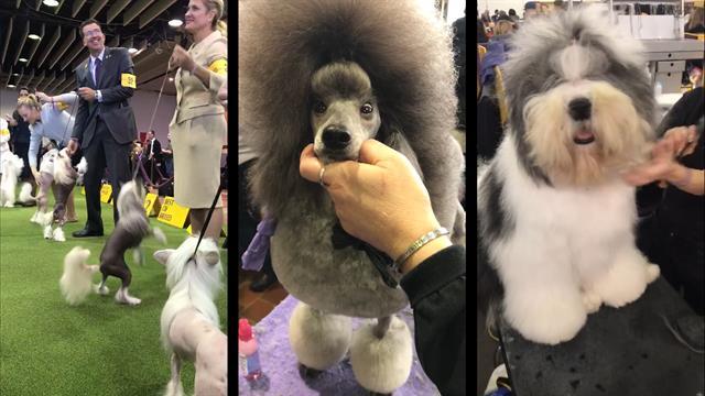 Nat Geo Wild Westminster Dog Show