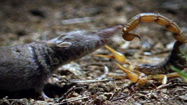 Scorpion vs. Scorpion vs. Shrew