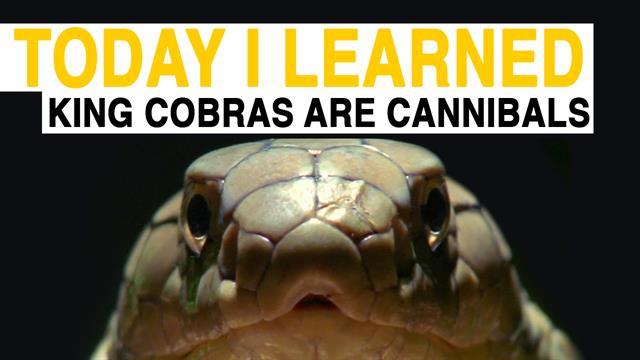 TIL King Cobras Are Cannibals