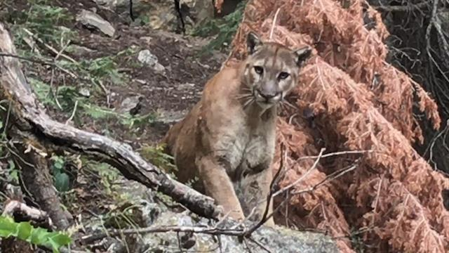 Watch Hikers Come Face to Face With a Cougar in California