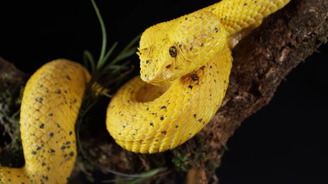 e0d425daec9 Striking Footage  See a Yellow Eyelash Viper in Action