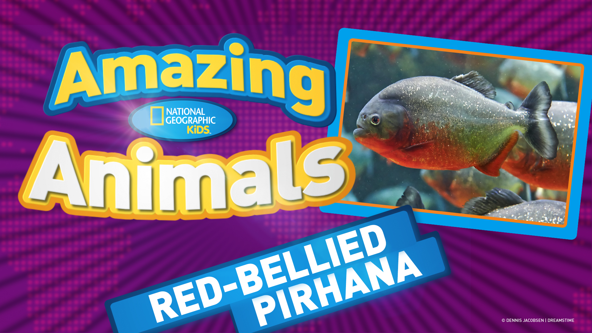 Red Bellied Piranha Ep 11