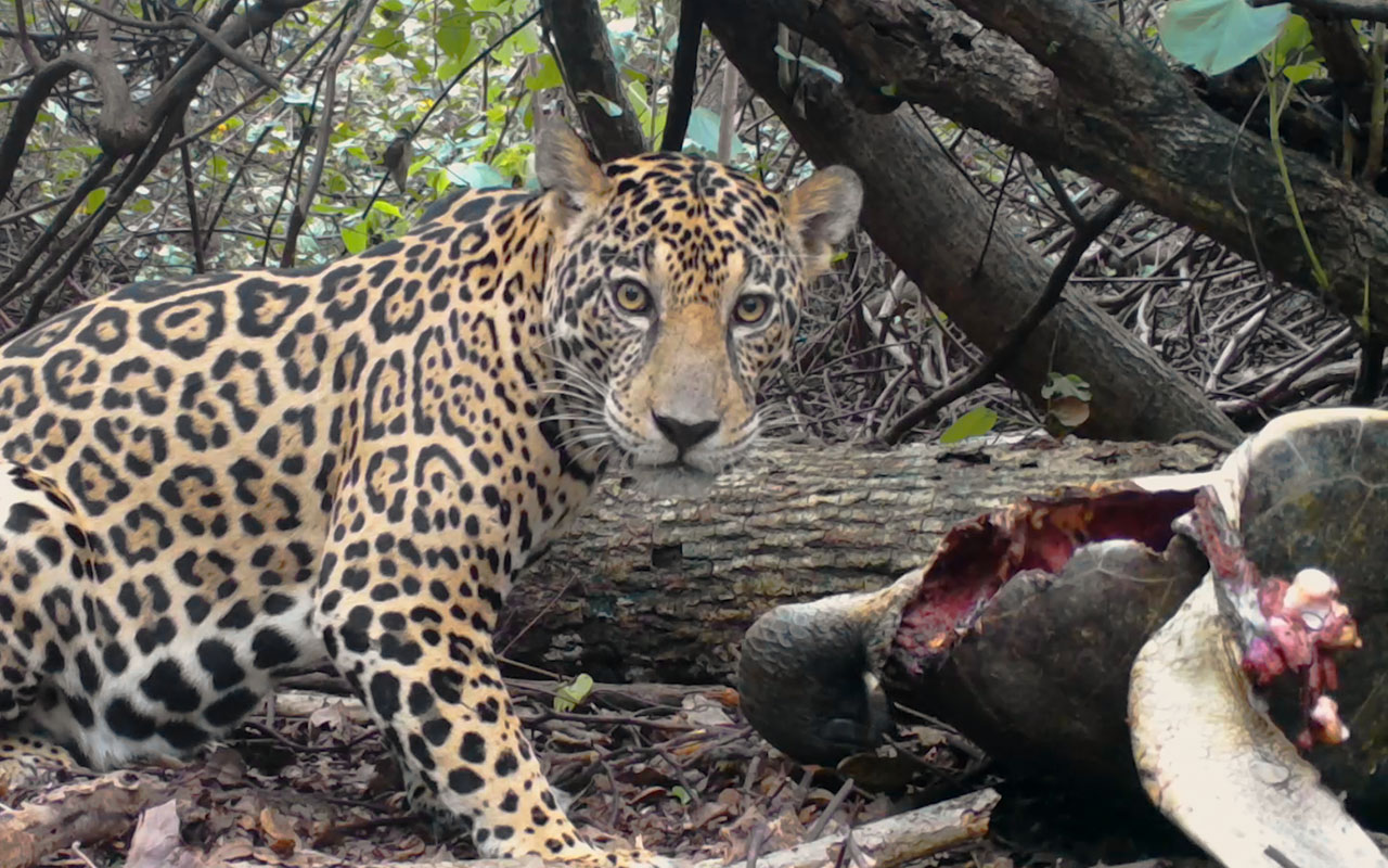 What Do Jaguars Eat >> Jaguars Hunt Endangered Sea Turtles In Surprising New Footage