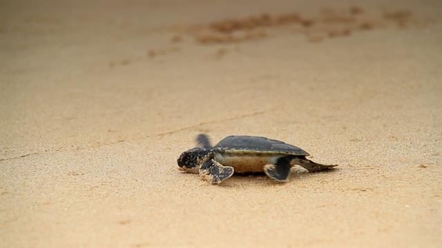 99% of These Sea Turtles Are Turning...