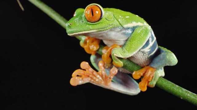 why does the red eyed tree frog have three eyelids