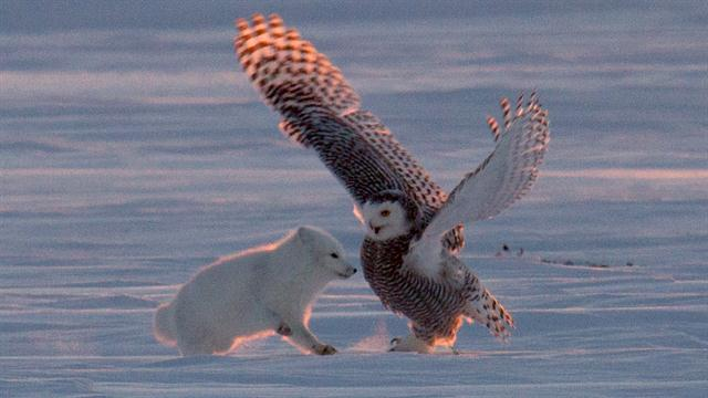 Arctic Fox And Snowy Owl Filmed Doing Strange Dance But Why