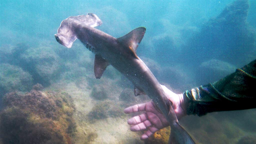 Scalloped Hammerhead Nursery Explored in the Galapagos Islands