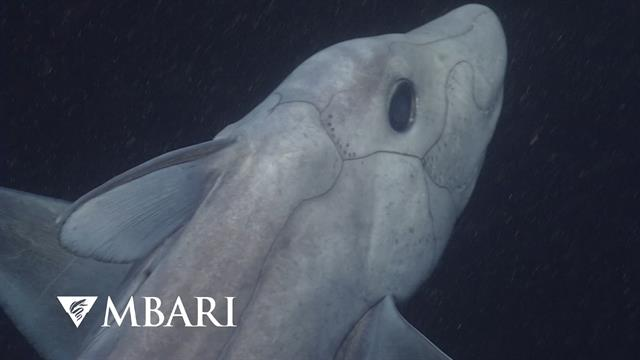 Mysterious Ghost Sharks Sex Habits Revealed