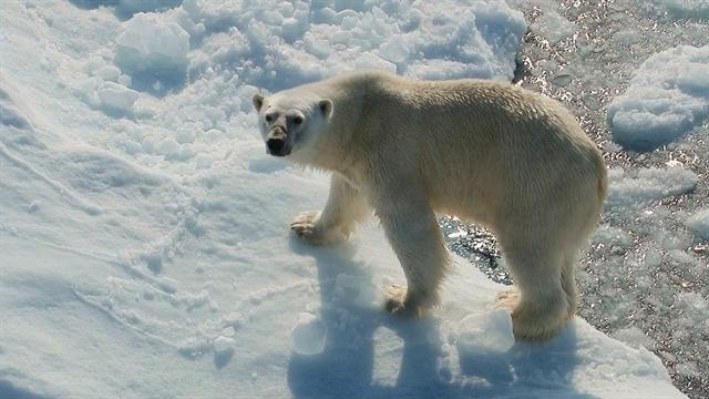 Wild Encounters Polar Bear Waiting For the Ice Movie free download HD 720p