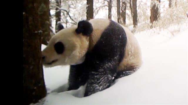 China's new panda park will be three times bigger than