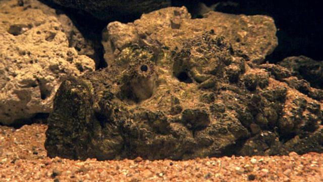 Best disguised predator fish for Stone fish facts