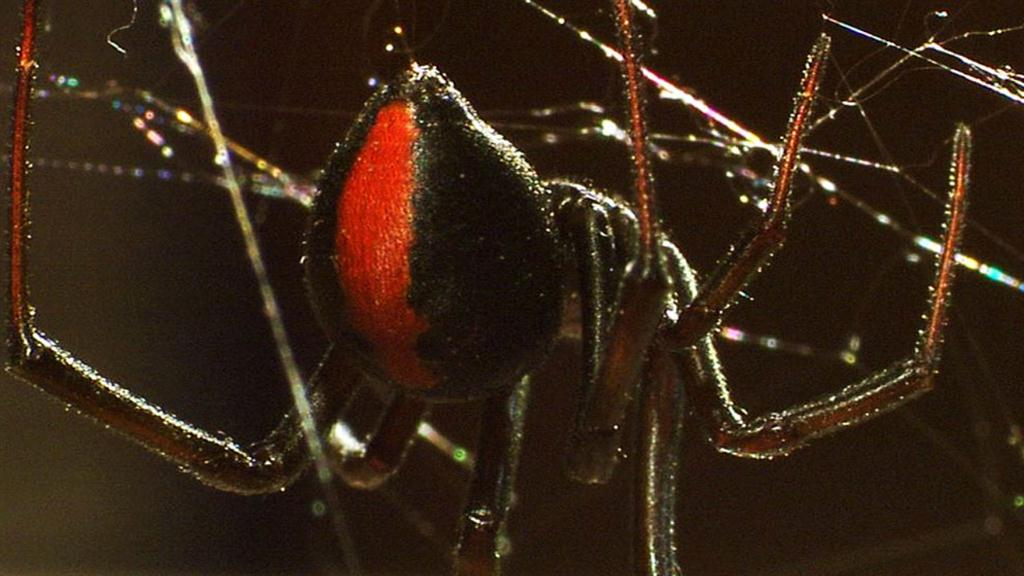 Deadly Cousin The Redback Spider