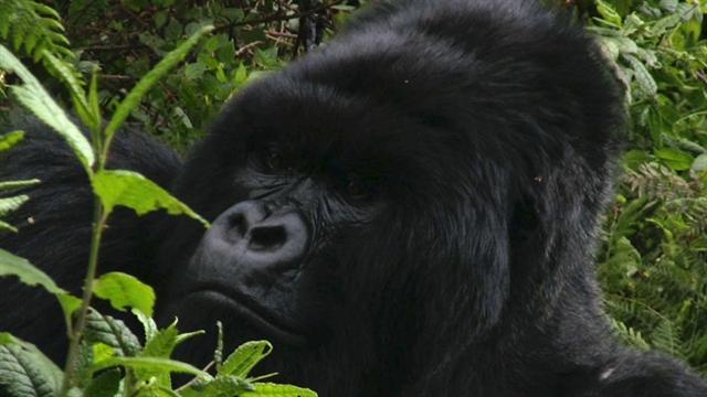 gorilla talk
