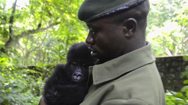 Eastern Lowland Gorilla Baby