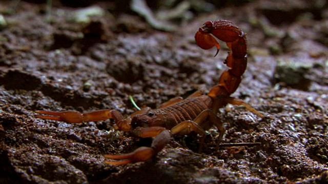 Red scorpion wallpaper - photo#55