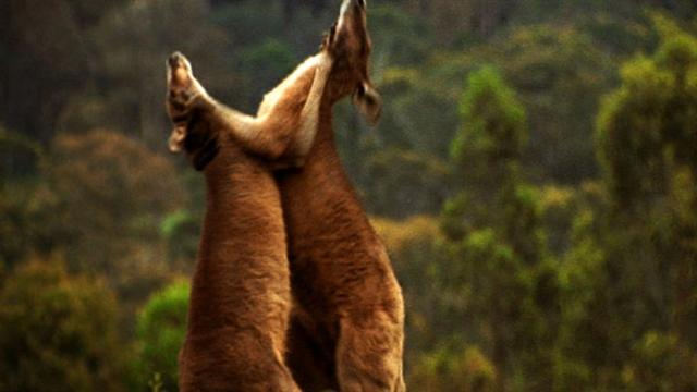 World S Deadliest Kangaroo Kickboxing