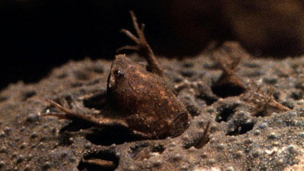 World S Weirdest Baby Toads Born From Mom S Back
