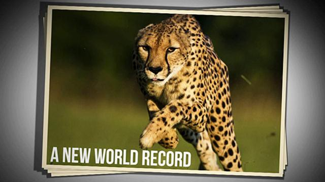 Land Speed Record >> Cincinnati Zoo Cheetah Sets New World Speed Record in 100 Meter Run