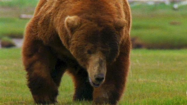 Explore The Beauty Of Caribbean: World's Deadliest: Grizzly Hunts With Nose