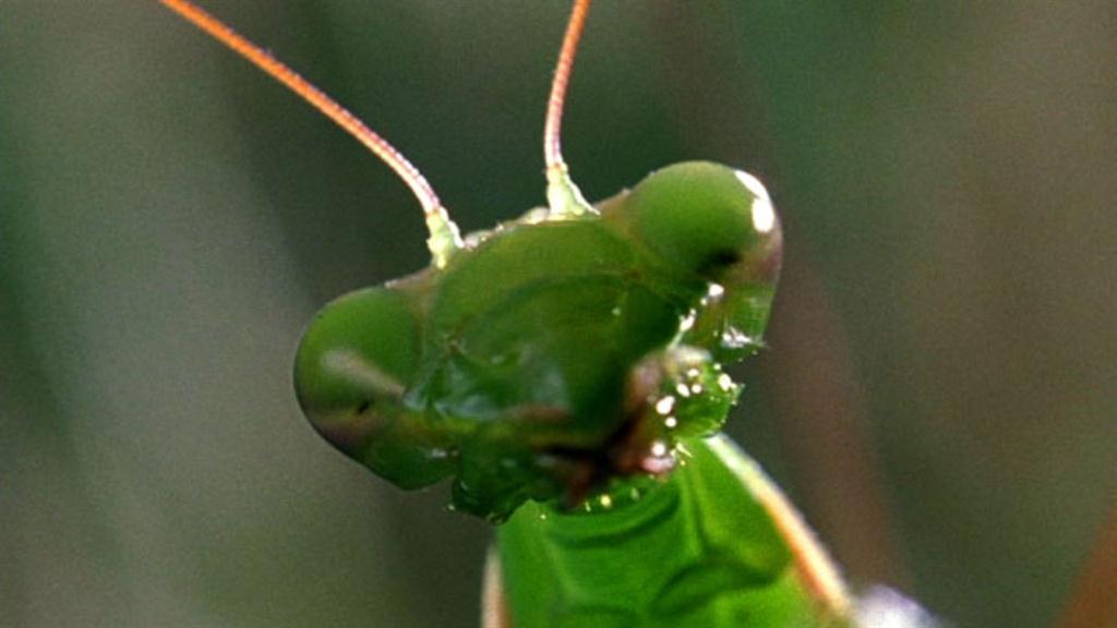 World S Weirdest Deadly Praying Mantis Love