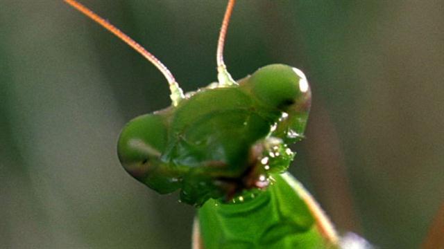 World's Weirdest: Deadly Praying Mantis Love
