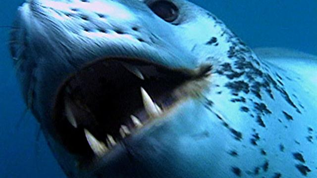 Great White Shark Enemies | World S Deadliest Seal Vs Penguin